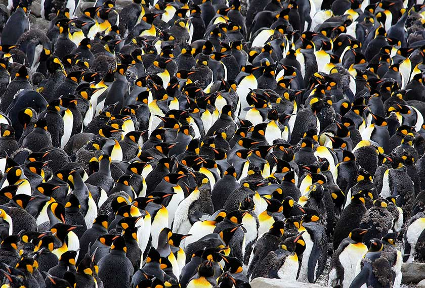 Exclusive Antarctica - In Search Of The Emperor Penguin in Snow Hill in the M/V Ortelius